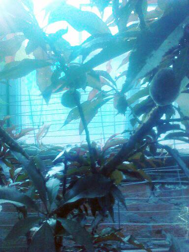 Nectarine Tree July